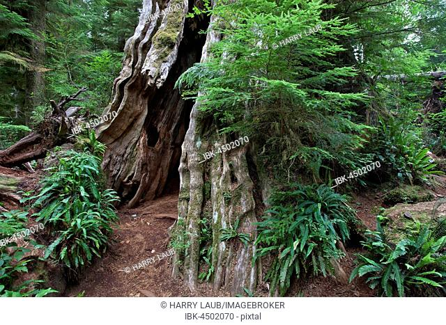 Old cedar (Thuja plicata) in the Quinault Rainforest in Quinault, Olympic National Park, Washington, USA