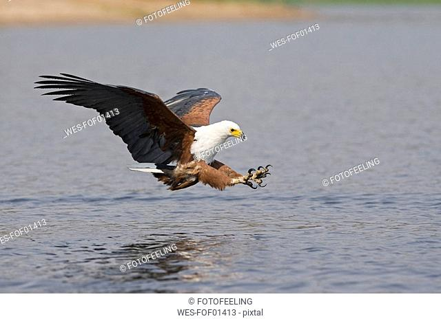 Africa, Botswana, African fish eagle Haliaeetus vocifer swoops down for a catch