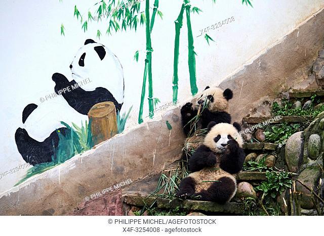China, Sichuan province, Ya'an, Bifengxia Panda base