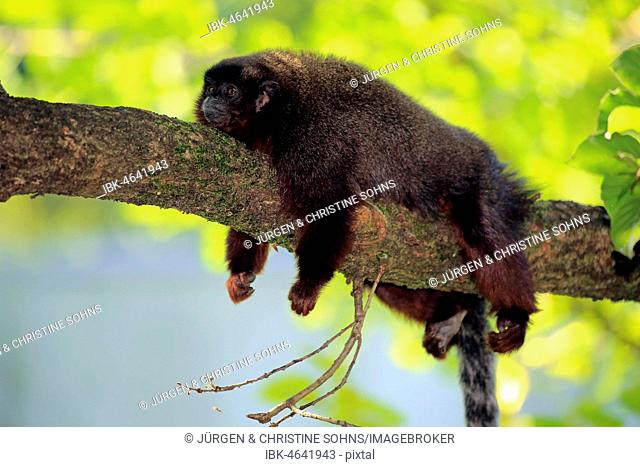 Coppery titi (Plecturocebus cupreus), adult, lying on branch, resting, animal portrait, captive
