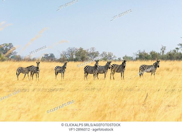 Goup of zebras. Kwando Core Area, Bwabwata National Park, Namibia, Africa