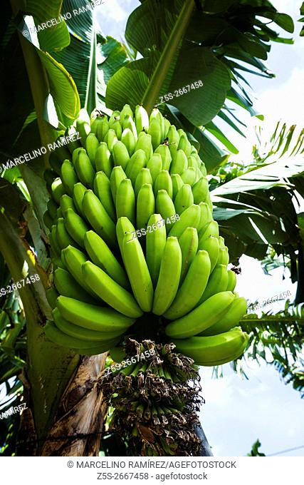 Canarian Banana plantation - Platano- in La Palma. La Palma. Tenerife. Canary Islands. Spain