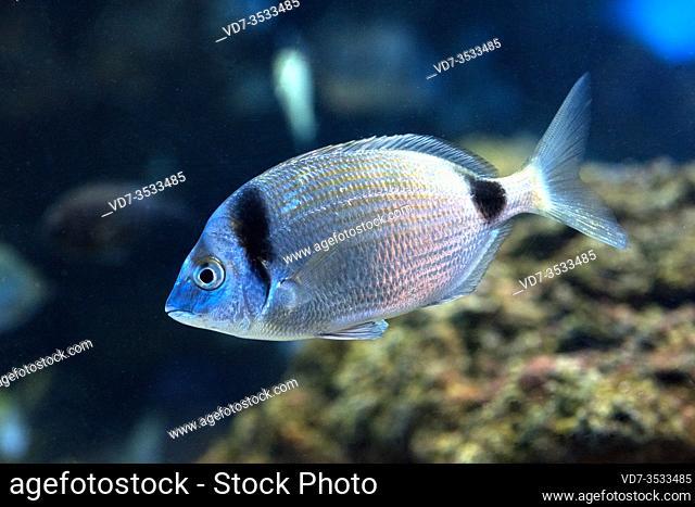 Common two-banded seabream (Diplodus vulgaris) is a marine fish native to Mediterranean Sea and eastern Atlantic Ocean