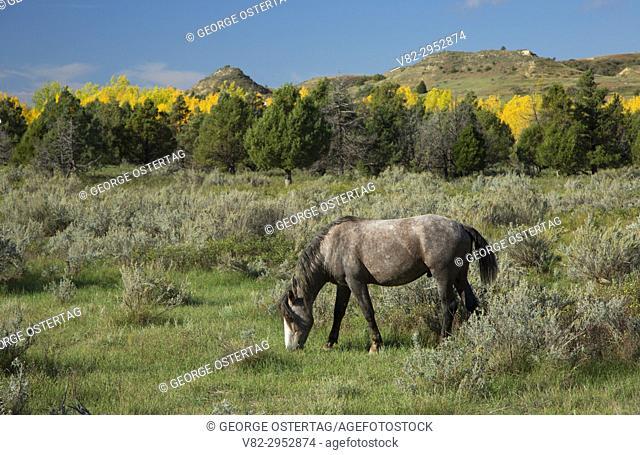 Wild horse, Theodore Roosevelt National Park-South Unit, North Dakota