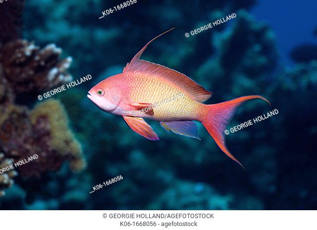 Lyretail anthias or Goldie Pseudanthias squamipinnis male  Red Sea, Egypt