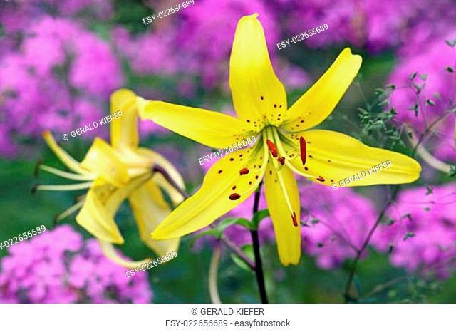 Gelbe Tiger-Lilie Lilium Yellow Star