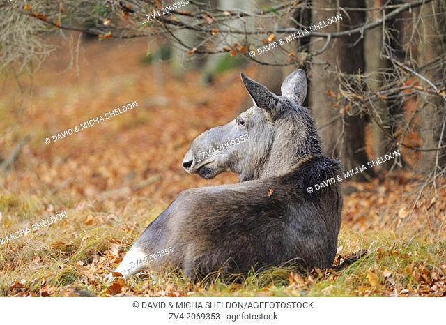 Close-up of an Eurasian elk (Alces alces) or moose in autumn in the bavarian forest