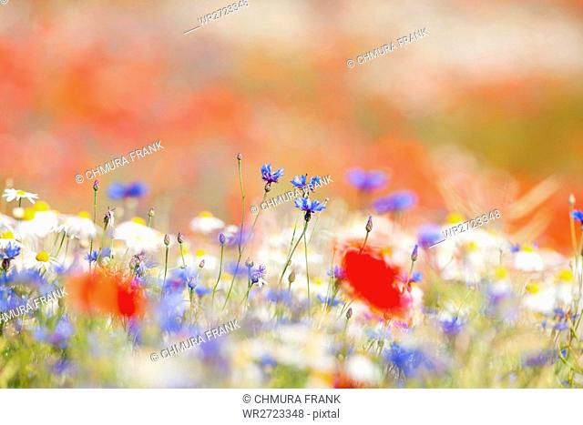 beautiful, beauty, bloom, blooming, blossom, blue, colour, colourful, country, countryside, daisy, day, field, floral, flower, flowers, green, grow, landscape