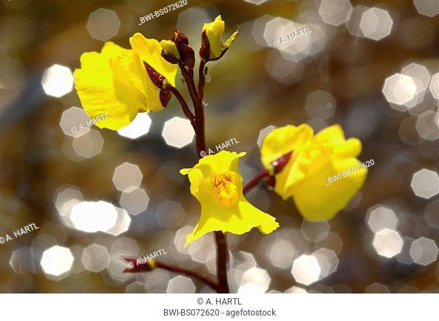 western bladderwort (Utricularia australis, Utricularia neglecta, Utricularia vulgaris agg.), blossoms in the backlight, Germany, Bavaria, Lake Chiemsee