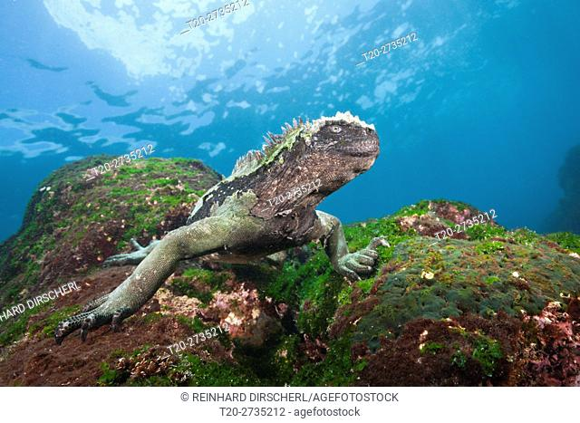 Marine Iguana feeding at Sea, Amblyrhynchus cristatus, Cabo Douglas, Fernandina Island, Galapagos, Ecuador