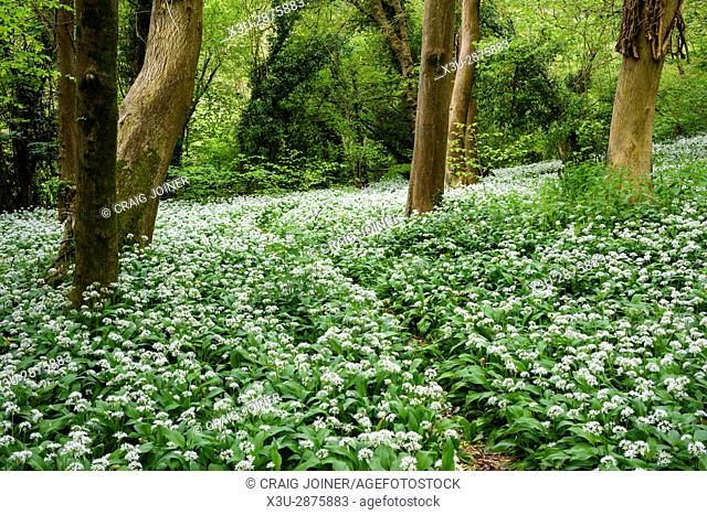 Wild Garlic, or Ramsons, in flower in woodland near Limpley Stoke, Wiltshire, England