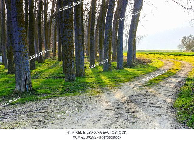 Poplar grove. Murieta, Navarre. Spain, Europe
