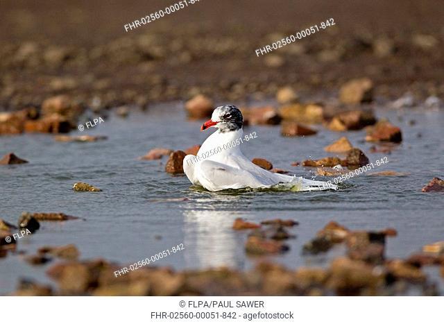 Mediterranean Gull Larus melanocephalus adult, entering summer plumage, bathing, Suffolk, England, february