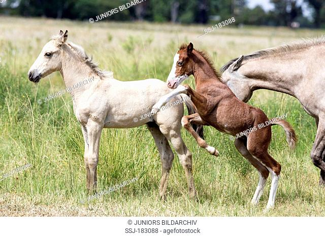 Boerperd, Boer Pony. Foals playing on a pasture. South Africa
