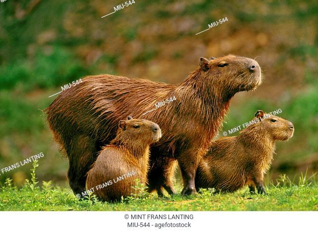 Capybara mother and young, Hydrochaeris hydrochaeris, Pantanal, Brazil