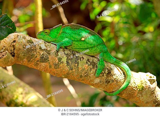 Parson's Chameleon (Calumma parsonii), female, foraging, Madagascar, Africa