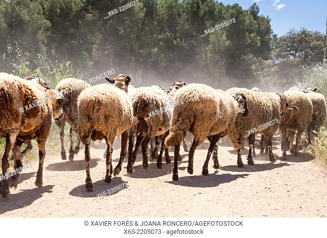 Flock of sheeps at Torre Marimon in Caldes de Montbui, Barcelona, Spain