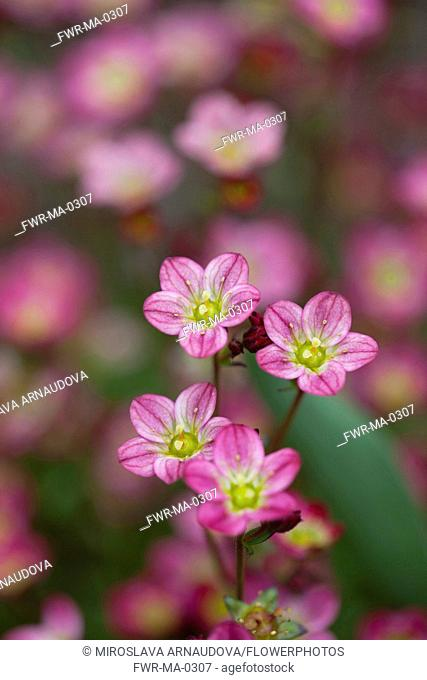 Saxifrage, Detail of small pink coloured flowers growing outdoor
