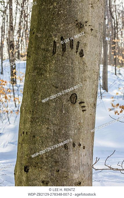 American Black Bear, Ursus americanus, claw marks made on the trunk of an American Beech, Fagus grandifolia, tree where the bear once ascended the tree in...