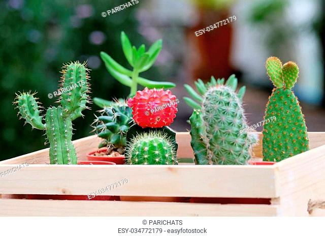 Small Cactus and Succulent in lovely wood tray for home decoration