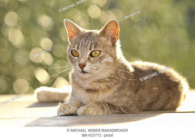 Young grey tabby cat lying down