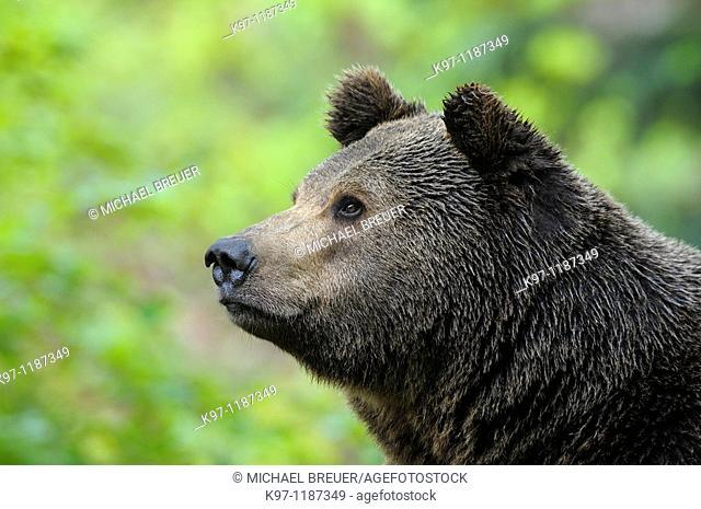 European brown bear Ursus arctos, Bavarian forest national park, Germany