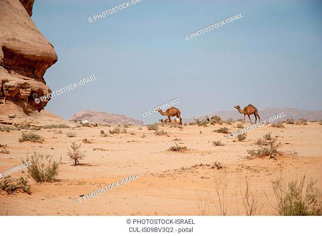 Camels in desert landscape, Wadi Rum, Jordan