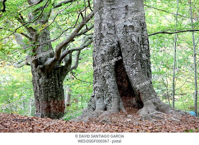 Spain, Navarra, Nature Park Urbasa-Andia, old trees