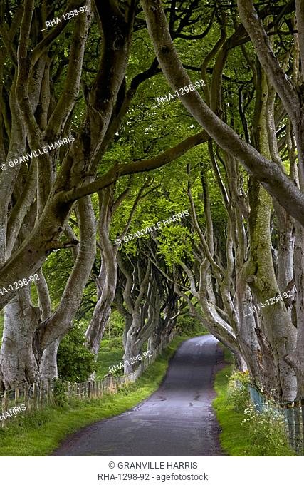 The Dark Hedges, Armoy, County Antrim, Northern Ireland, United Kingdom, Europe