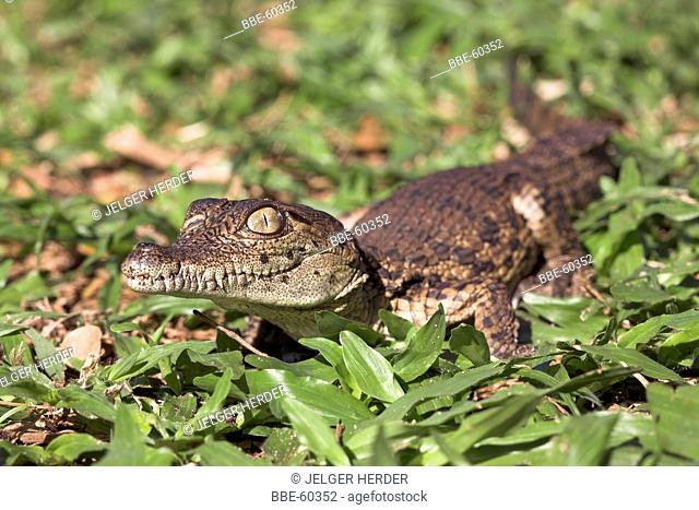 Photo of a nile crocodile hatchling