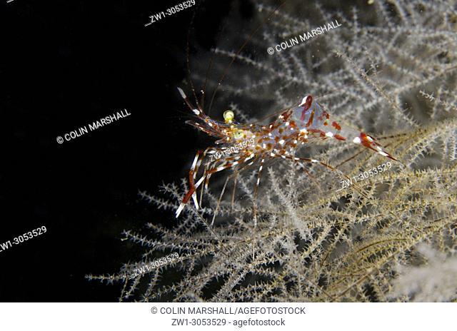 Clear Cleaner Shrimp (Urocaridella antonbrunii) on coral, K41 dive site, Dili, East Timor (Timor Leste)