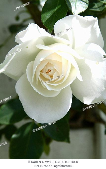 white rose, sunlit, dark green leaves, outer petals wide open, Los Angeles, CA