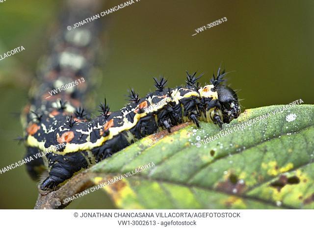 Caterpillar eating leaf. Junín - Perú