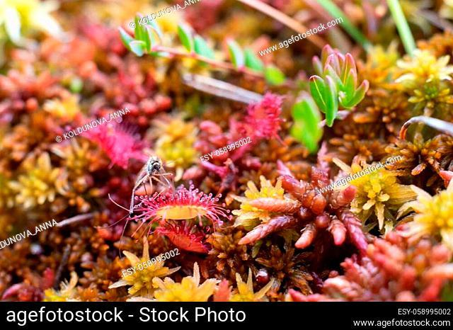 Round leaved sundew or Drosera on swamp. Close up