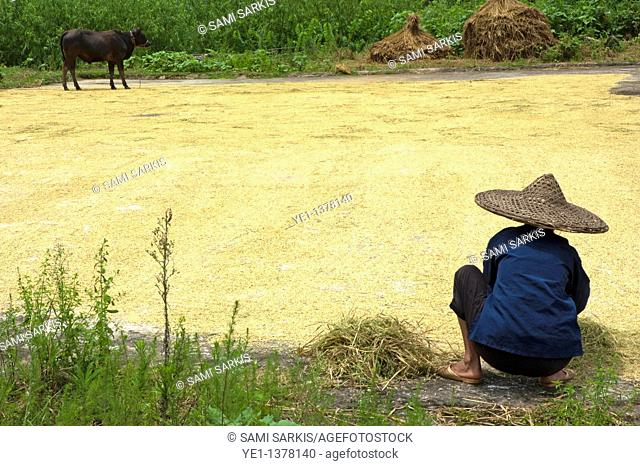 Old woman checking harvested rice drying on the ground, Yangshuo, Guangxi, China