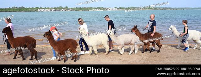 09 May 2020, Saxony, Kahnsdorf: A first hike this year with the alpacas of Diana Gröhmann (l) from the Alpaca-Shop Leipziger Land can be enjoyed by a family...