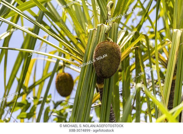 Pandanus plant on the Sekonyer River, Tanjung Puting National Park, Borneo, Indonesia