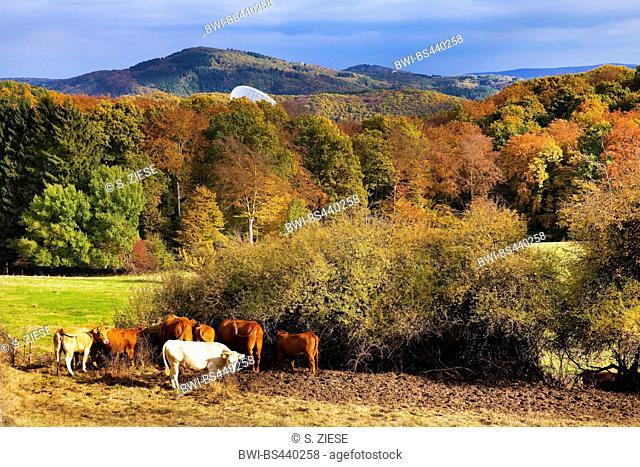 domestic cattle (Bos primigenius f. taurus), Ahr Hills in autumn with cattles and Effelsberg Radio Telescope, Germany, North Rhine-Westphalia, Bad Muenstereifel