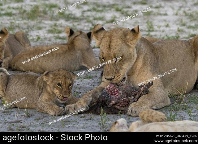 A lioness (Panthera leo) with about 6 months old cubs is feeding on a warthog in the Gomoti Plains area, a community run concession