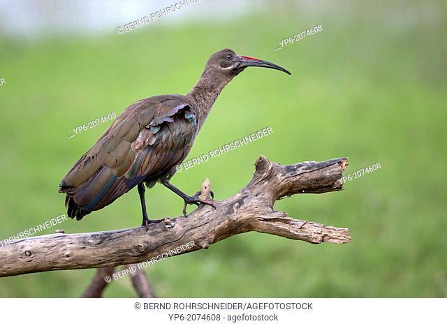Hadada Ibis (Bostrychia hagedash) perched on branch, Lake Nakuru National Park, Kenya