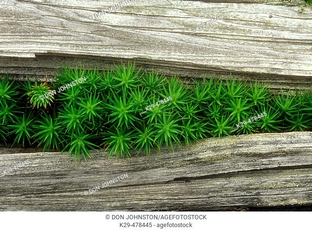 Hair cap moss, Polytrichium commune. Colony of moss growing through crack in dead wood. Walden. Ontario, Canada