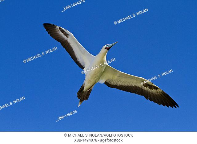 Adult red-footed booby Sula sula in flight in the Galapagos Island Archipelago, Ecuador  MORE INFO Red-footed boobies are the smallest of all boobies  In the...