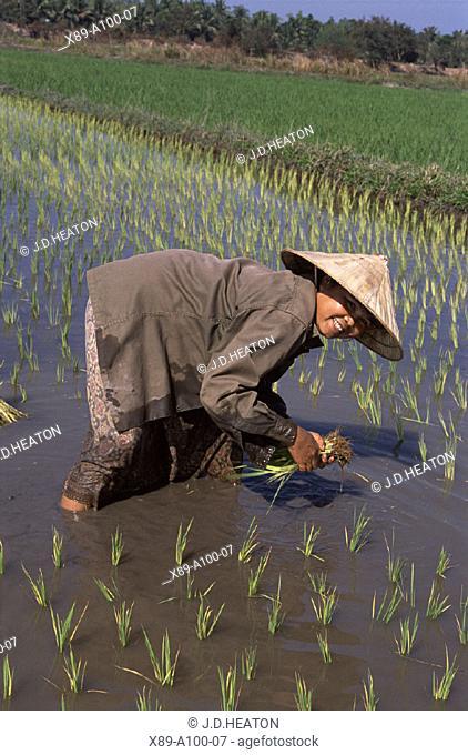 Rice Paddy, Laos