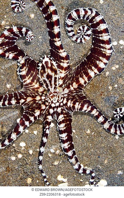 Mimic octopus (Thaumoctopus mimicus) Lembeh Strait, Indonesia