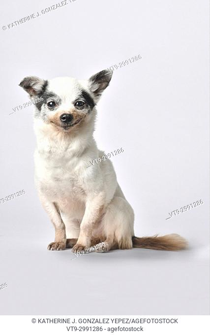 Senior chihuahua dog on white background
