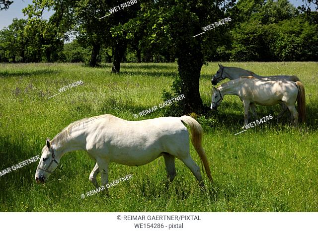 Three white Lipizzan horses grazing in a field at the Lipica Stud Farm at Lipica Sezana Slovenia