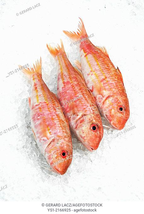 Red Mullet, mullus surmuletus, Fresh fishes on Ice
