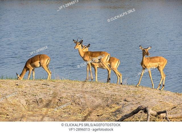 Impala antelopes on the shores of Kwando River. Kwando Core Area, Bwabwata National Park, Namibia, Africa