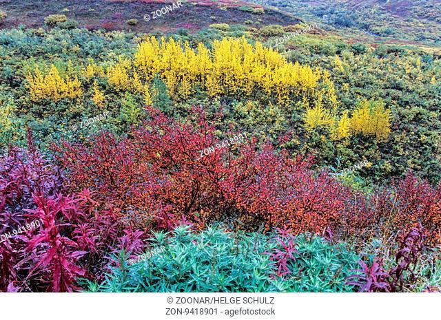 Tundralandschaft mit Weidenroeschen, Zwergbirken und Zitterpappeln im Herbst / Tundra landscape with Fireweed, Dwarf Birches and Quaking Aspen in indian summer...