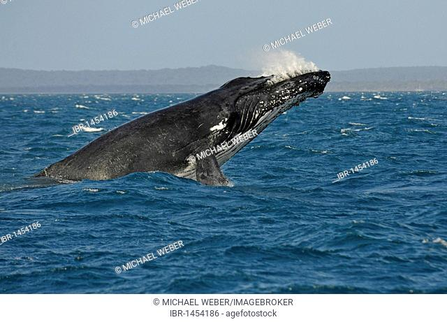 Species-specific breach, breaching, jumping with a twist, humpback whale (Megaptera novaeangliae), Hervey Bay, Fraser Island in the back, Queensland, Australia